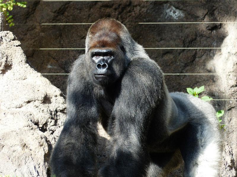 Do adult gorillas live al