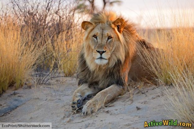 Lion Facts And Information For Kids