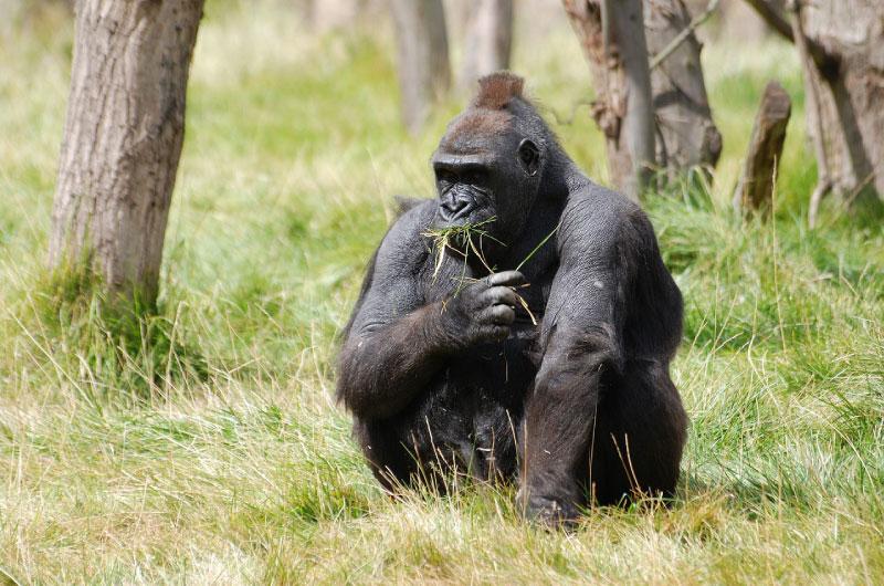 Gorilla Facts For Kids - Information About Gorillas