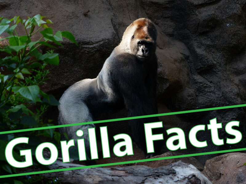 Gorilla Facts For Kids Header