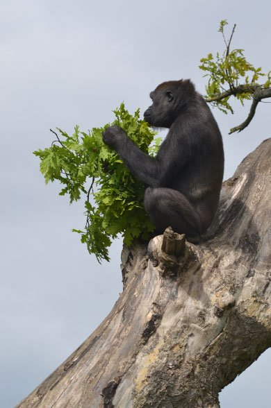Gorilla Up Tree