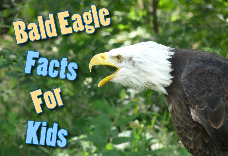 Bald Eagle Facts For Kids - Information, Pictures And More