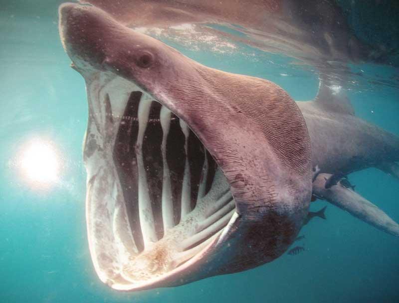 Biggest Basking Shark In The World | newhairstylesformen2014.com