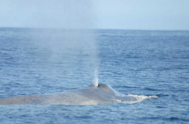 Blue Whale Blowhole