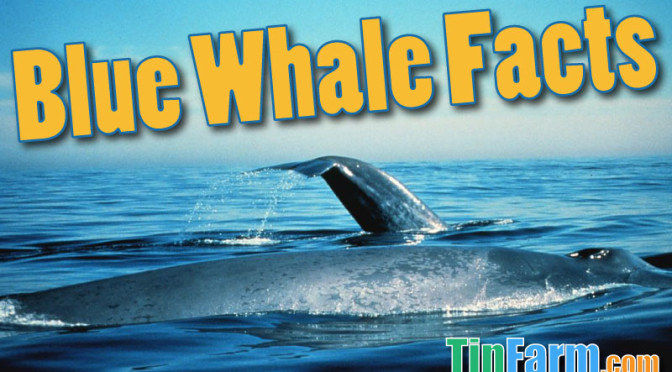 Blue Whale Facts For Kids: Information, Pictures u0026 Activities