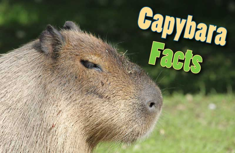 Capybara Facts, Information, Pictures u0026 Video