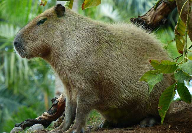 Capybara Facts Information Pictures Amp Video