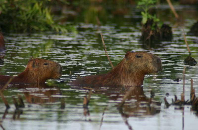 Capybaras Swimming