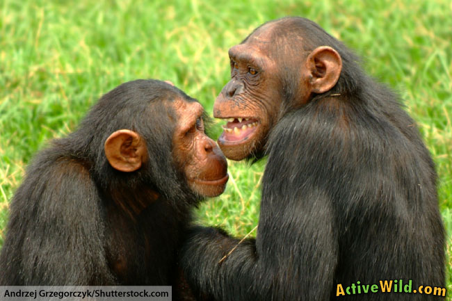Chimpanzee Information and Facts for Kids
