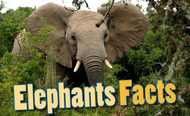 Pics photos facts about elephants african elephants asian elephants