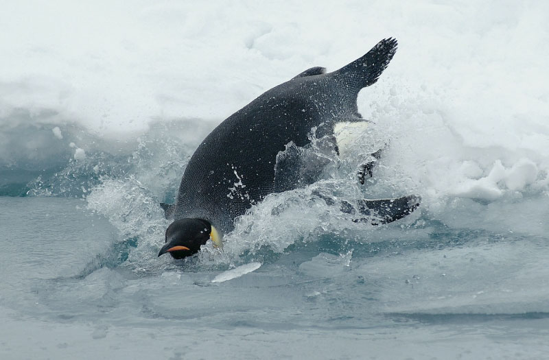 Information & Ten Awesome Facts About Penguins For Kids