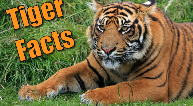 Facts About Tigers For Kids