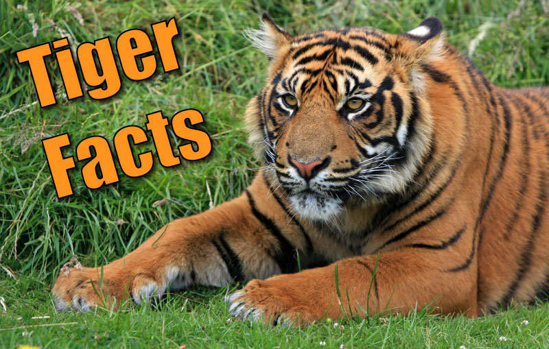 Tigers Facts For Kids & Adults. Pictures, Video, In-Depth Information