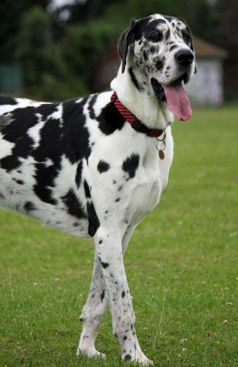 Great Dane Largest Dog