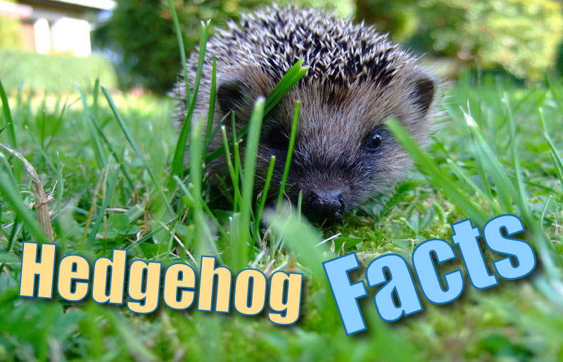 Hedgehog Facts For Kids & Adults, With Pictures & In-Depth Information