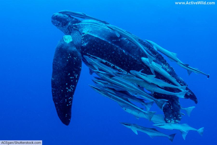 Leatherback sea turtle swimming