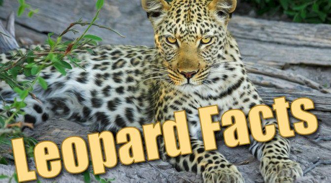 Leopard Facts For Kids - Information, Pictures u0026 Activities