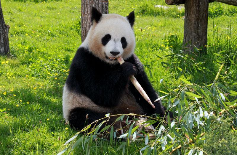 Endangered Animals Information - Panda