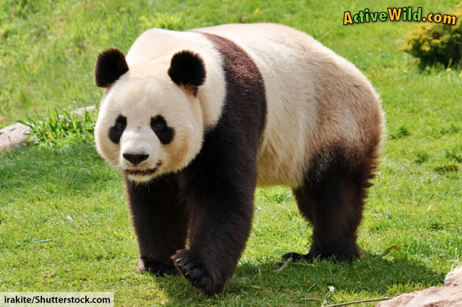 Panda Facts For Kids & Adults: Information, Pictures & Video