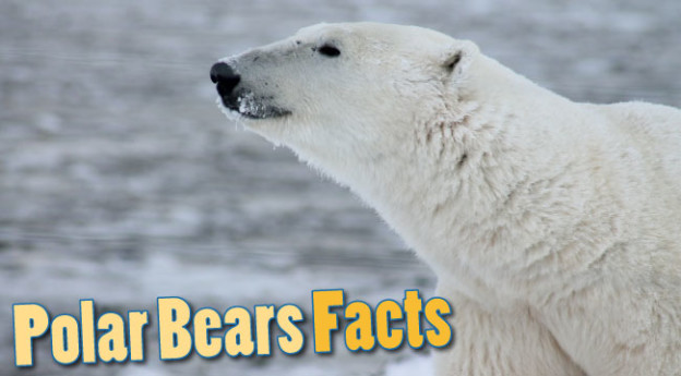 Polar Bears Facts For Kids - Amazing Information & Pictures