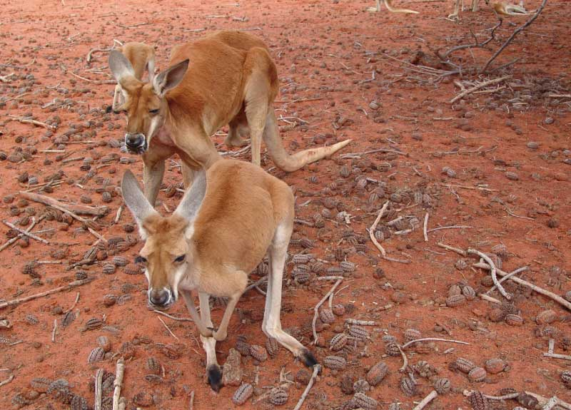 Red Kangaroos are the biggest type of kangaroo.