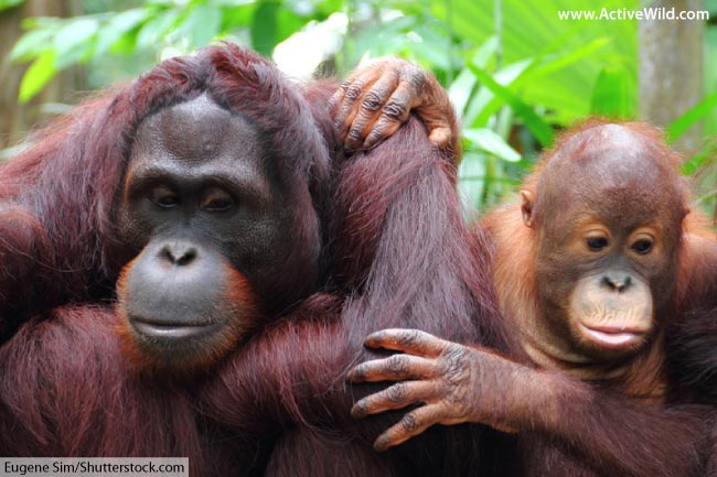 female sumatran orang utan and baby
