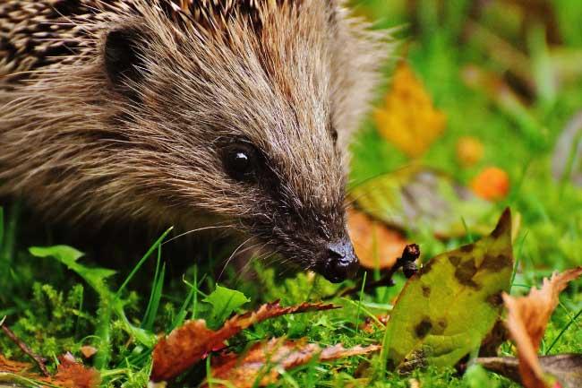 hedgehog face close up