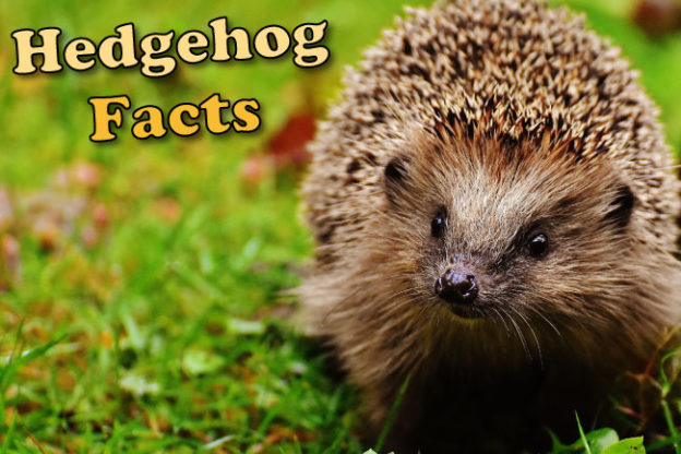 Hedgehog Facts For Kids Adults With Pictures In Depth