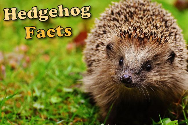 hedgehog facts for kids