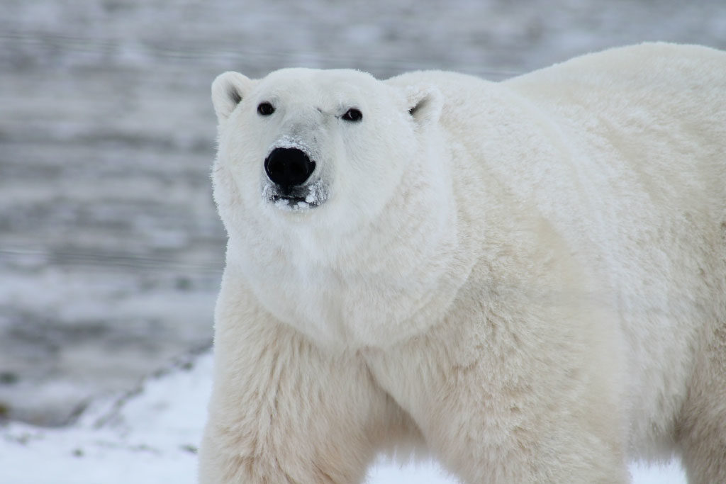 polar bear adaptations insulating coat
