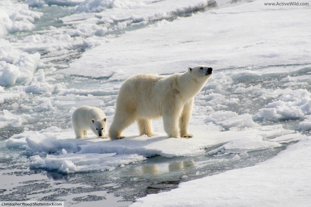 polar bear on ice with cub