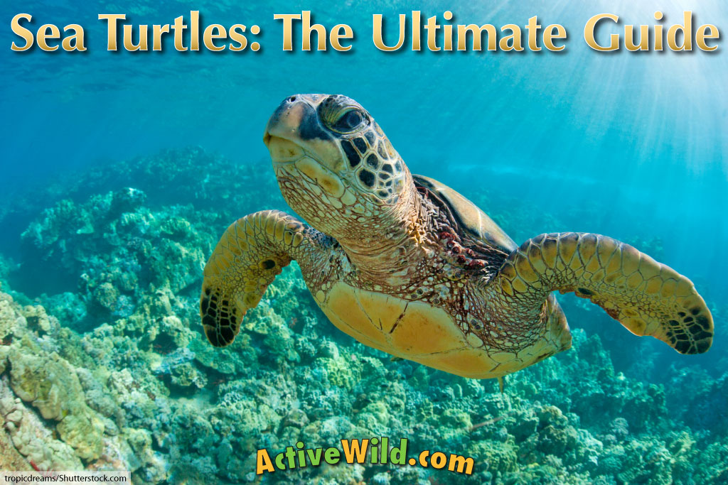 sea turtles facts