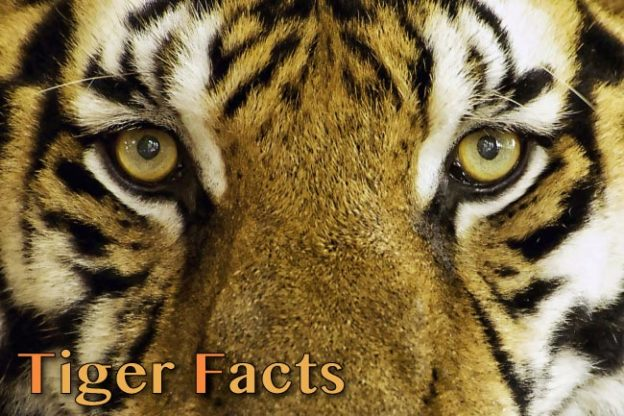 Big Cats Tiger Facts