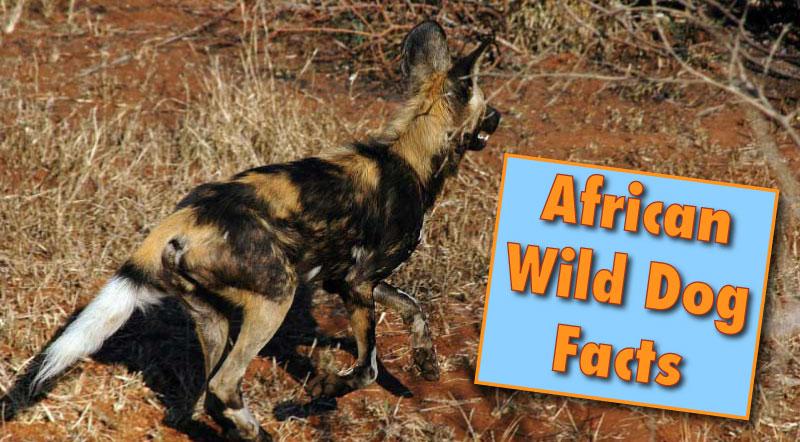 Scientific Name For Wild Dog