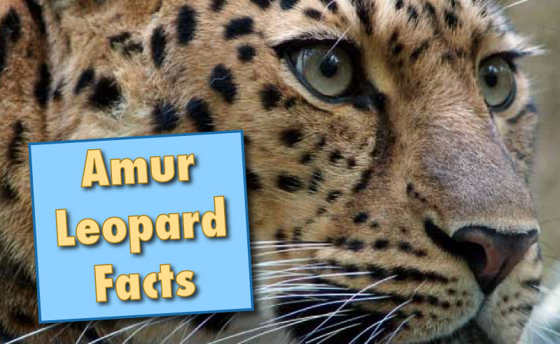 Critically endangered Amur leopard only 35 left in wild   Nature'-s ...