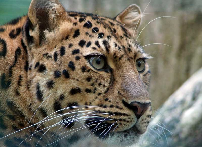 Amur Leopard critically endangered animal