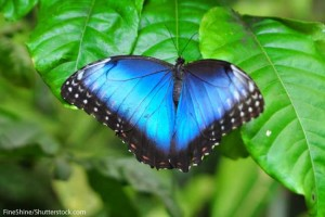 Blue-Morpho-Butterfly-Wings
