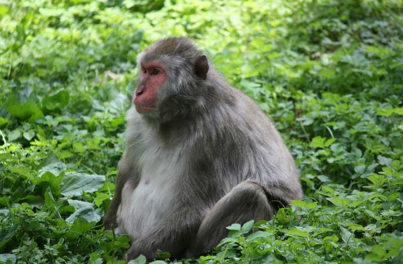 Bonobo-Endangered-Animals-List - Active Wild