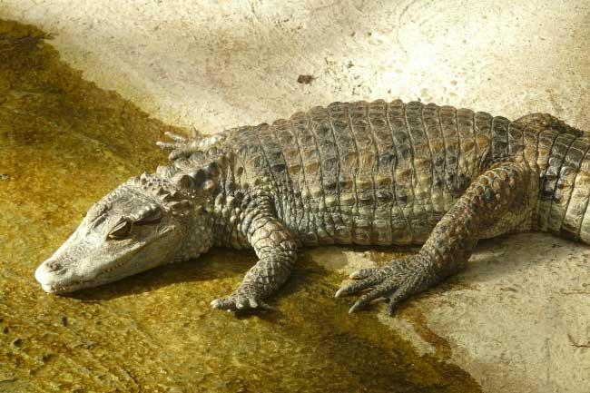 Caiman List Of Rainforest Animals