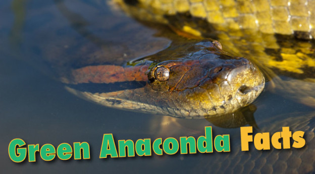 Green Anaconda Facts