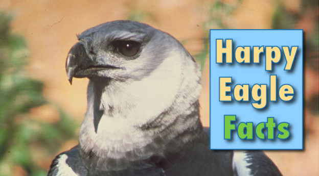 Harpy Eagle Facts