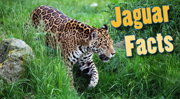 Jaguar Facts For Kids