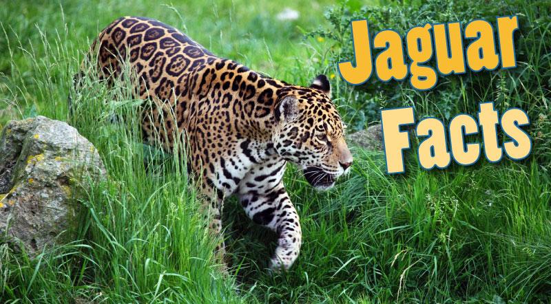 What Do Jaguars Eat >> Jaguar Facts For Kids Adults Information Pictures Video