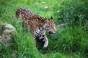 Virtual zoo: Jaguar