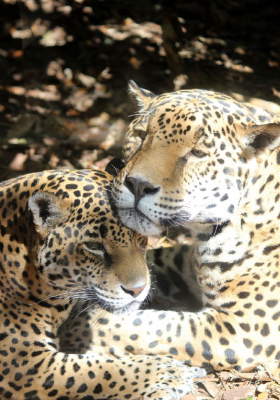 female jaguar with cub