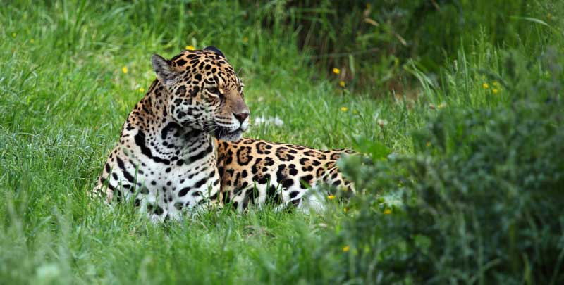 Jaguar lying down