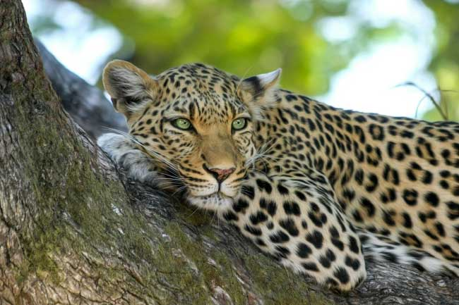 Leopard In The Rainforest