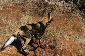 Virtual zoo: African Wild Dog