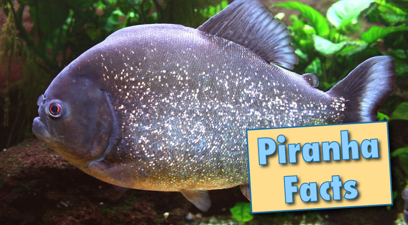 Piranha Facts u0026 Information, With Pictures u0026 Video.