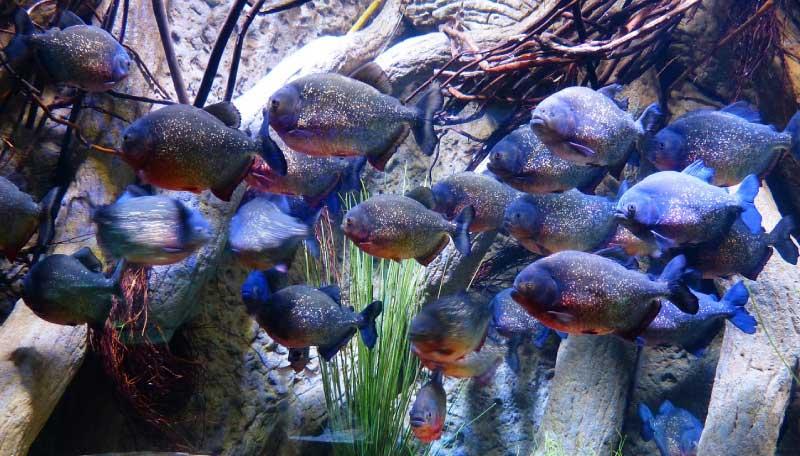 piranha shoal